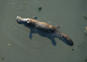Platypus from Broken River in Queensland, Australia